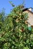 Apfelbaum_Herbst