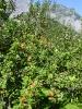 Apfelbaum_vor_Bergkulisse