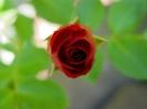 rote_rose