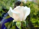 weisse_rose_2