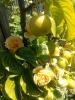 Apfel und Rosen
